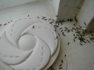 Argentine House Ant